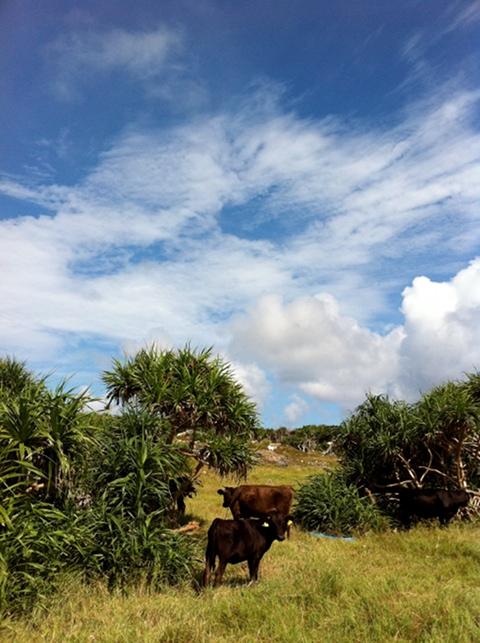 波照間の空と雲と牛と。